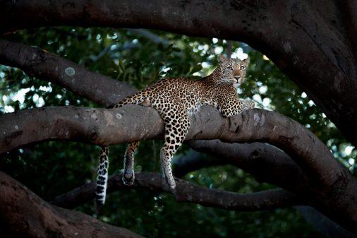 Junger Leopard im Baum.
