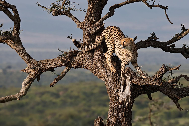 Kenia Safari Gepard