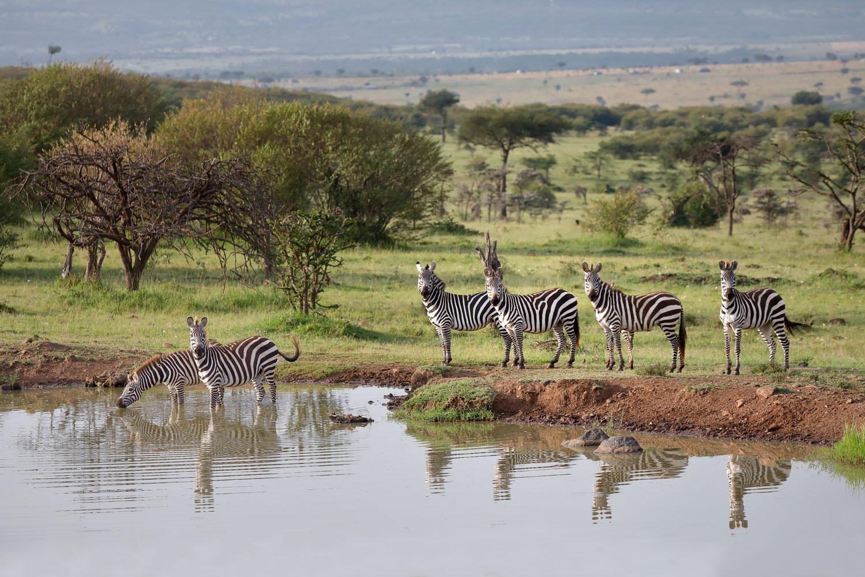 Kenia Safari Zebras