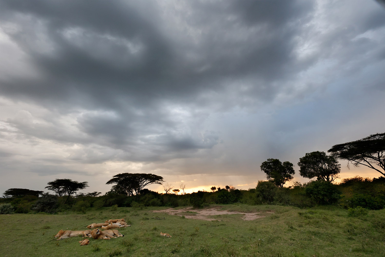 Kenia Safari Löwen