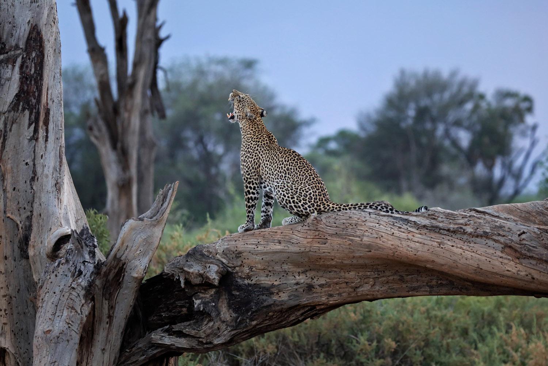 Kenia Reise Leopard