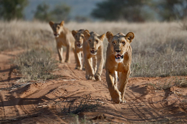 Kenia Reise Loewen