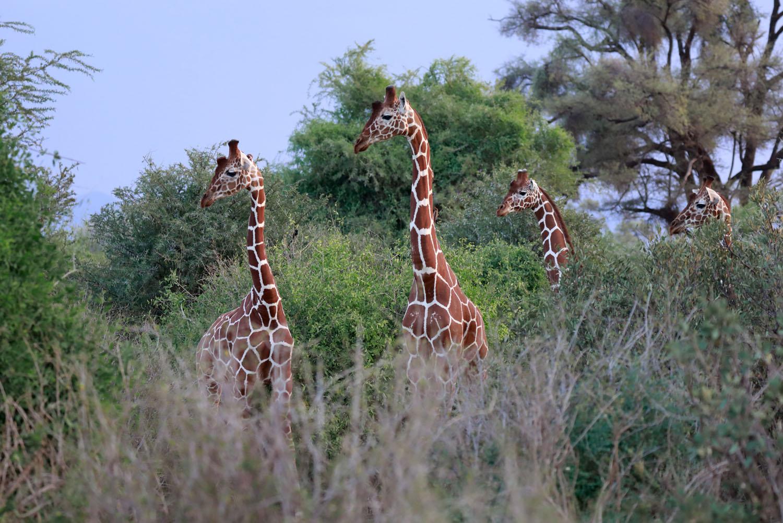 Kenia Reise Netzgiraffen
