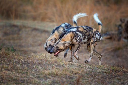 Wildhunde-Botswana-Afrika