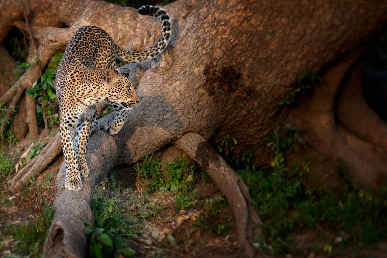 Leopardin Sambia, South Luangwa Nationalpark.